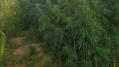 Marihuanu zasijao u bašti uz kukuruz